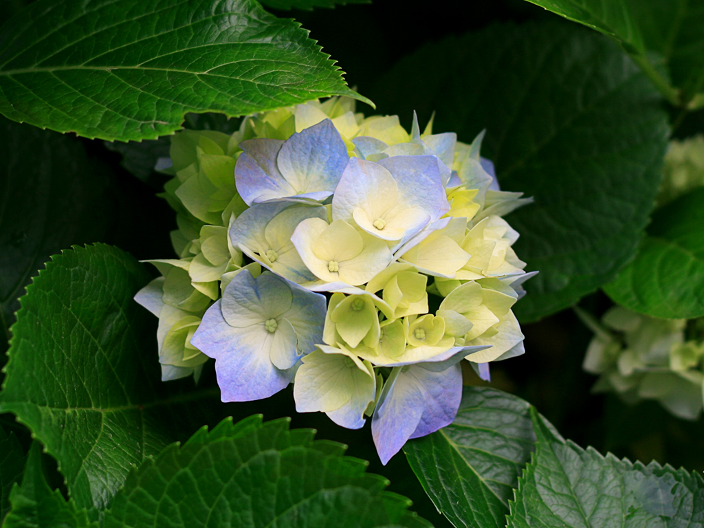 This is a picture of Hydrangeas.jpg